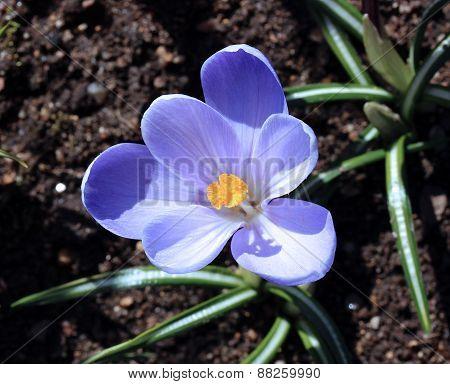 Lilac Crocus Flowers In The Garden