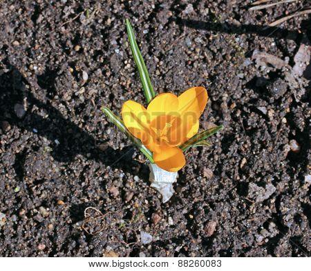 Yellow Crocus Flower In The Garden