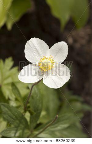 Anemone Sylvestris - A Perennial Herb
