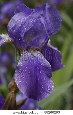 Violet Iris after rain