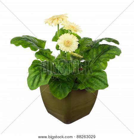 Gerbera Flowers In Dark Green Pot Isolated On White Background.