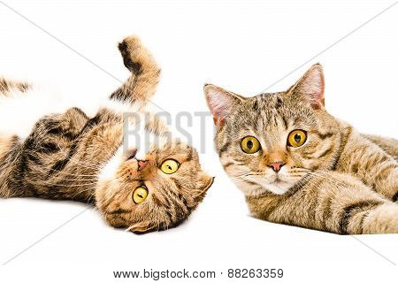 Portrait of two cats Scottish Fold and Scottish Straight