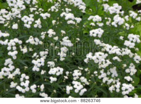Background of small white flowers using filter