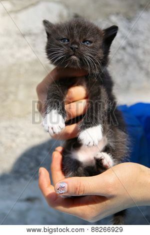Little Black Homeless Kitten In The Hands