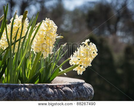 Pale yellow hyacinths growing in a stone pot