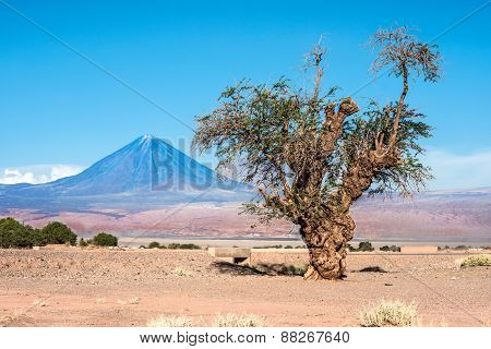 Old Tree Front Of Volcano Licancabur, Atacama Desert Of Chile