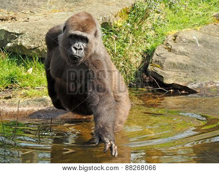 Porrtait Of A Female Gorilla In The Water