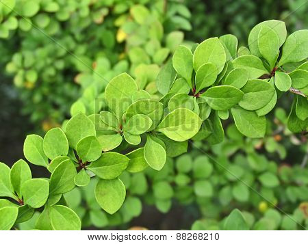 Green Leaves Of Barberry Thunbergii