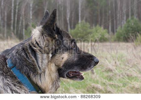 Dog In Alert