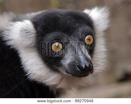 White Lemur