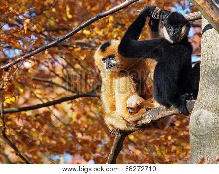 Gibbon Couple With Child