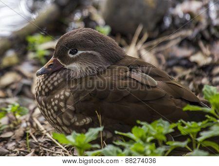 Female Mandarin Duck (aix Galericulata)