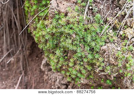 Closeup Green Sphaqnum Moss