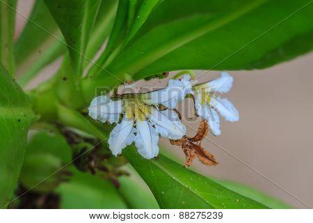 Scaevola sericea flower