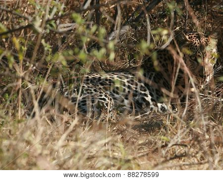 Jaguar in the bush
