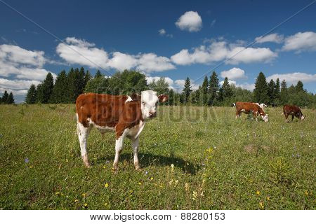 Calf on green grass and cows near the forest