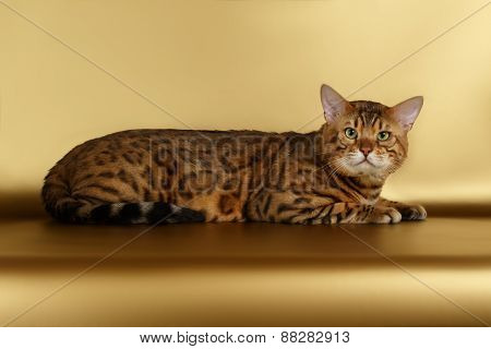 Bengal Cat on Gold background and Looking in camera