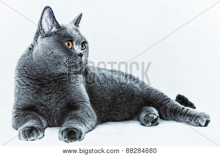 Beautiful Young Short-haired British Gray Cat With Yellow Eyes On A Light Background
