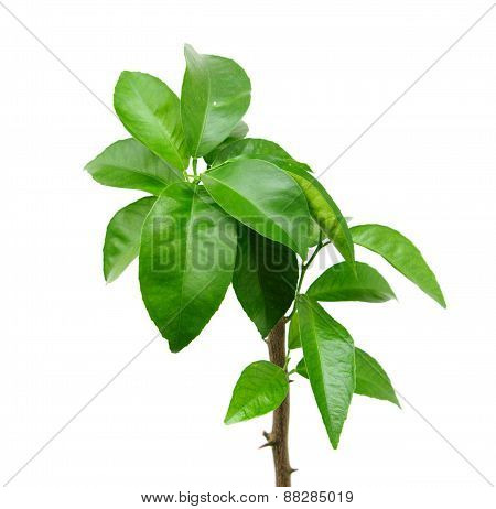 Citrus Tree On White, Isolated.
