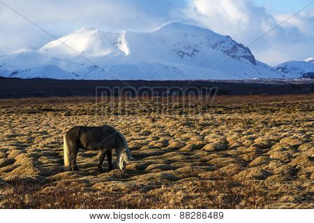 Gray Icelandic Horse In Front Of Snowy Mountains