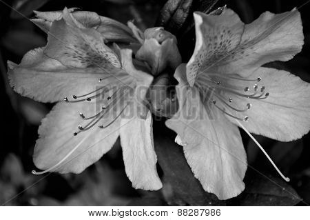 Black And White Photo Of Azalea Blossoms