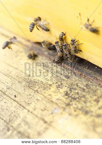 Honey Bees In Yellow Beehive