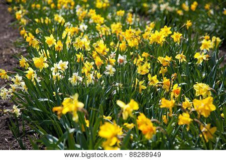 Narcissus Pseudonarcissus (commonly Known As Wild Daffodil Or Lent Lily)