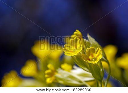 Close up on cowslip, Primula veris in a garden.