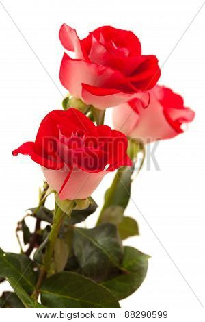 Two-toned Roses Isolated