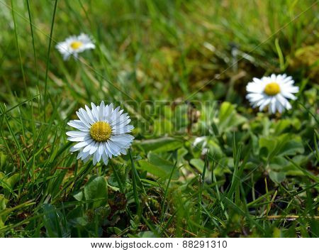 Spring flowers.Several flowering daisies.