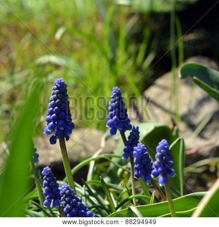 Spring Flowers Muscari Mill blue bunches of grapes close-up.