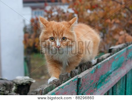 Tiny Red Kitten Outdoors Portrait