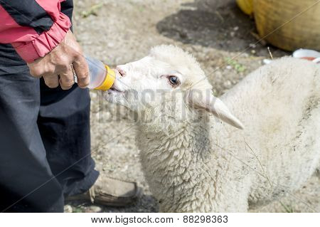 Sheep  Drinking Water From Hand