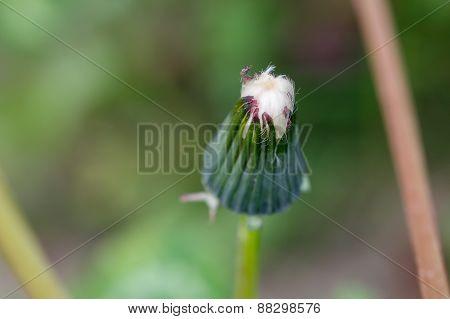 White dandelion bud.