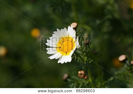 Spring daisies on green background.
