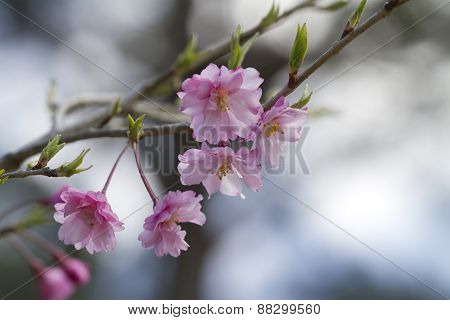 Pink Japanese Weeping Cherry Floral
