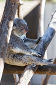 image of koala  - close up of a koala at a zoo resting up high on wooden logs - JPG