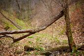 stock photo of fallen  - Fallen trees in a deciduous forest on a spring day - JPG