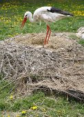 image of stork  - Close-up of a stork in its natural habitat. Adult stork in natural habitat on a nest