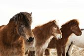 picture of pony  - Herd of Icelandic ponies on a meadow in spring - JPG