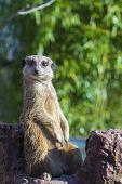 pic of meerkats  - A guarding meerkat or suricate  - JPG