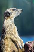 image of meerkats  - A guarding meerkat or suricate  - JPG