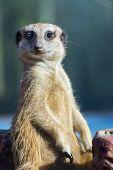 picture of meerkats  - A guarding meerkat or suricate  - JPG