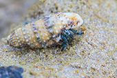 foto of hermit crab  - Hermit Crab in a screw shell on tropical sea - JPG