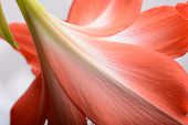 image of gladiolus  - beautiful pink gladiolus close up - JPG