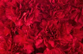stock photo of carnations  - Bouquet of red flowers carnation for use as nature background - JPG