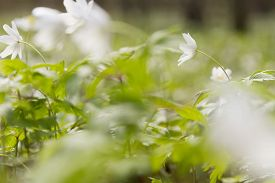 pic of windflowers  - wallpaper of close up of white windflower with selective focus and shallow DOF - JPG