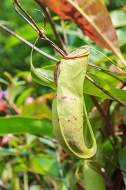 stock photo of nepenthes-mirabilis  - close up Nepenthes in the garden Thailand - JPG