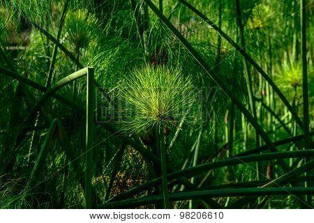 Papyrus Sedge Plant