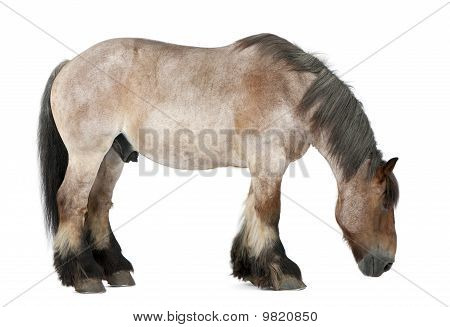 Belgian Horse, Belgian Heavy Horse, Brabancon, A Draft Horse Breed, 16 Years Old, Standing In Front